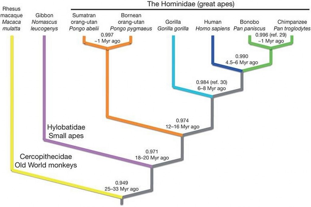 Human Phylogeny. Credit: Stearns & Hoekstra (2005). Reproduced by permission of Oxford University Press. © Oxford University Press [xvi]